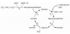 Cykl Krebsa biologia