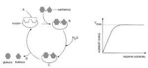 Hydroliza sacharydów, matura z biologii